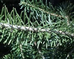 pine fir or spruce tree news