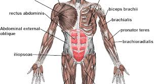 Human Body Muscles Images Name Of Human Body Muscles U2013 Hd M Com
