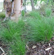 how to plant native grasses three native sedges made for the shade dyck arboretum