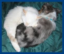 cat with australian shepherd home