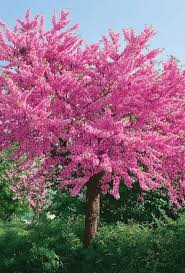 buy cercis siliquastrum judas tree unwins