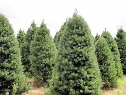 scotch pine christmas tree a real christmas tree the oak leaf
