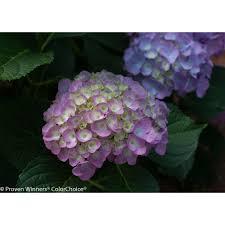 pink hydrangea proven winners 3 gal cityline berlin bigleaf hydrangea