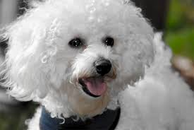 1 month old bichon frise bichon frise dog breed information pictures characteristics