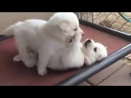 white swiss shepherd puppies play on hammock youtube