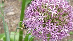 allium flowers mid atlantic gardening about alliums