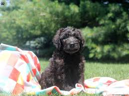 belgian sheepdog breeders pa newfypoo puppies for sale in pa