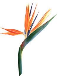 bird of paradise flower bird of paradise kris mathiowetz