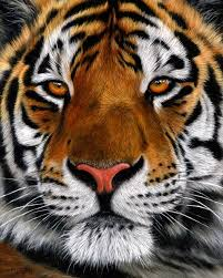 best 25 tiger ideas that you will like on tiger