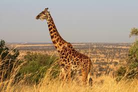 interpretation of a dream in which you saw giraffe