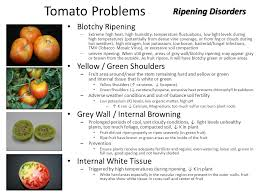 High Heat Plants Tomato Plants Fail To Produce Fruit When Pollination Does Not