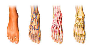 Foot Anatomy Nerves Why Does The Top Of My Foot Hurt