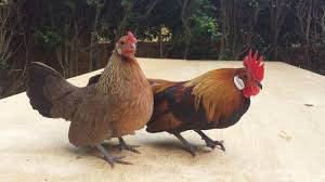 dutch bantam for sale chickens breed information omlet