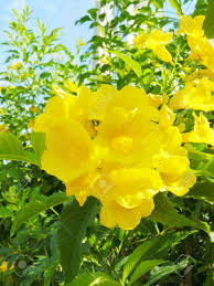 close up group of yellow flower cat u0027s claw catclawvine or