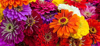 Zinnias Flowers Top 15 Most Beautiful Zinnia Flowers Zinnias Orchids Garden And