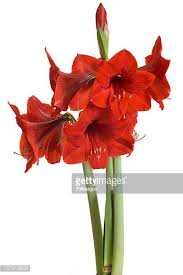 amaryllis flowers amaryllis stock photos and pictures getty images
