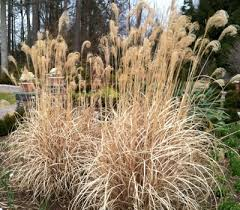 late season gardening with ornamental grasses hoffman nursery