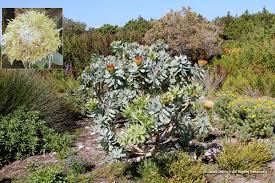 Pin Cushion Tree Fynbos Janet Davis Explores Colour