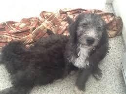 bedlington terrier guide bedlington whippet cross bedlington terrier puppies for sale in