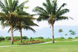 coconut palm tree britannica
