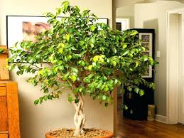 best low light house plants indoor low light trees indoor trees low light best indoor plants