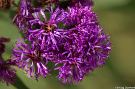 native kansas plants western ironweed flowers vernonia baldwinii konza prairie biological station flint hills kansas by betsey crawford jpg