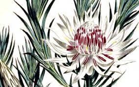 Protea Flower Protea Flowers Yenra