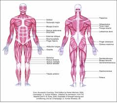 Human Anatomy Worksheet All The Muscles In The Human Body Diagram Muscle Anatomy Worksheet