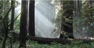 trees and shrubs muir woods national monument u s national