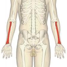Anatomy Of The Human Skeleton Radius Bone Wikipedia