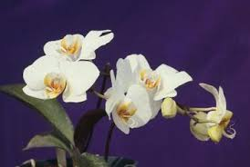 list of characteristics and traits of a phalaenopsis orchid home