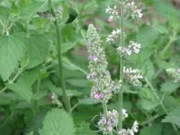 Catnip Flower - catnip seeds terroir seeds