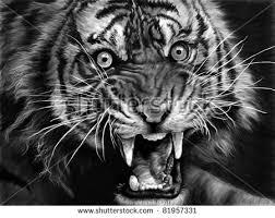 sketch tiger black white stock illustration 81957331