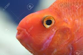 extreme close up side view of a fish u0027s head orange skin big