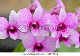 Dendrobium Orchid Dendrobium Orchid Stock Images Royalty Free Images U0026 Vectors