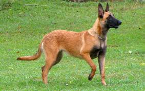 belgian shepherd exercise requirements belgian malinois all big dog breeds