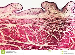 Anatomy Slides Bladder Cat Animal Tissue Microscope Slides Stock Photo Image