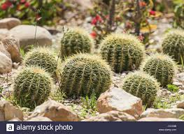 barrel cactus plants echinocactus in an ornamental arid desert