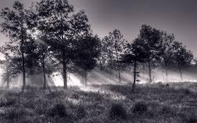 sunlight through trees black and white wallpaper