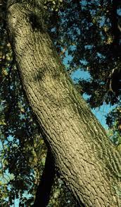 box elder tree looks like the one i used to climb way up high