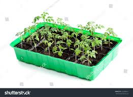 young tomato plants germination tray ready stock photo 125266631