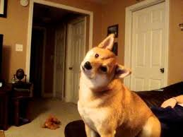 Head Tilt Meme - shiba inu severe head tilt dogs know your meme
