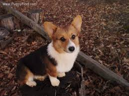 25 welsh corgi puppies ideas corgi dog
