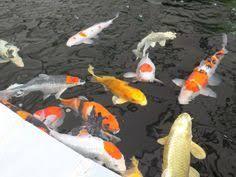 alternative eden exotic garden the big koi pond reveal