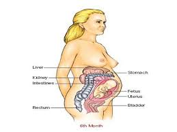 Pregnant Female Anatomy Diagram Essential Question What Is Sexual Reproduction What Is Internal
