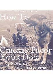 Backyard Laying Chickens by Best 25 Backyard Chickens Ideas On Pinterest Raising Chickens