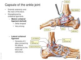 Calcaneus Anatomy Anatomy Of The Ankle And Joints Of Foot