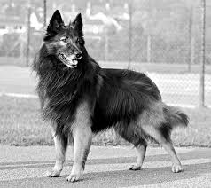belgian sheepdog mix my character jack other