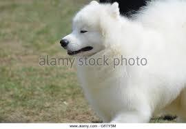 american eskimo dog vector circus dog stock photos u0026 circus dog stock images alamy