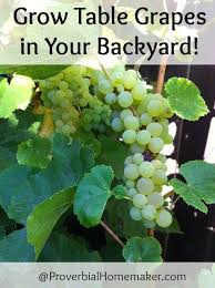 Planting Grapes In Backyard 14 Best Gardening Grapes Images On Pinterest Growing Grapes